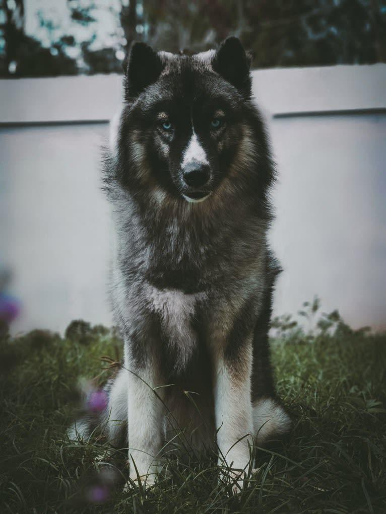 Photo of Adhara Citlali Esadowa, a Siberian Husky  in United States