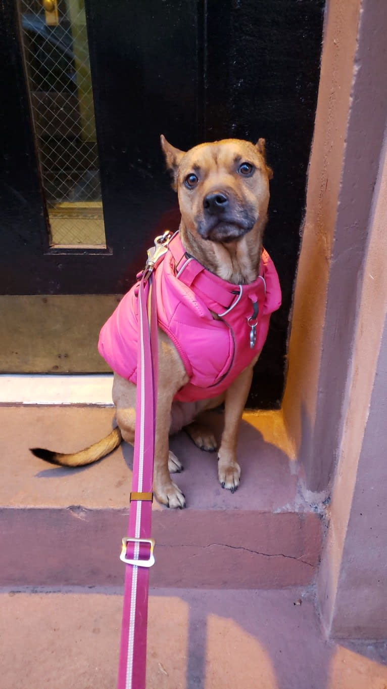 Photo of Skye, an American Pit Bull Terrier, Rottweiler, and Pekingese mix in New York, USA