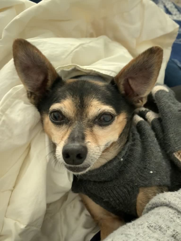 Photo of Jonathan Peanutbutter, a Chihuahua, Rat Terrier, Poodle (Small), and Mixed mix in SF, California, USA
