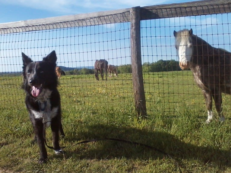 Photo of Tex, an Australian Cattle Dog, Border Collie, Chow Chow, Rottweiler, Siberian Husky, and Mixed mix in Texas, USA