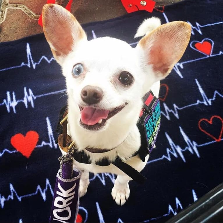 Photo of Mason, a Chihuahua and Russell-type Terrier mix in Omaha, Nebraska, USA