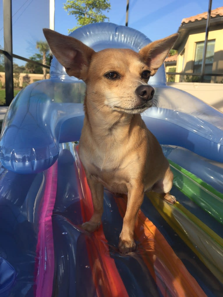 Photo of Ivy, a Chihuahua and Russell-type Terrier mix in Florida, USA