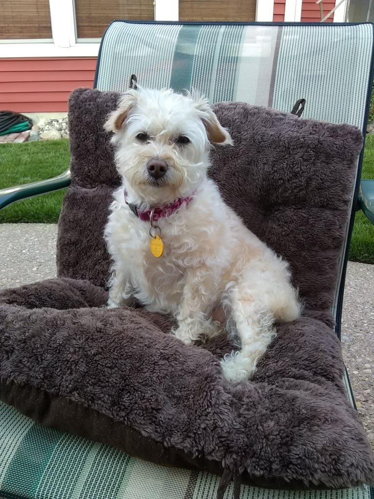 Photo of Daisy, a Poodle (Small), Toy Fox Terrier, Russell-type Terrier, Rat Terrier, and Mixed mix in Butler, IN, USA