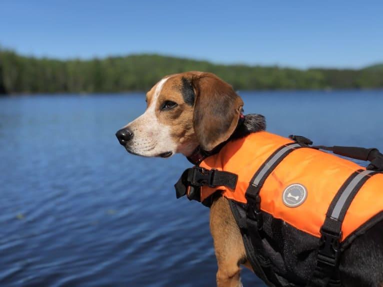 Photo of Argos, a Beagle  in Indian Lake, New York, USA