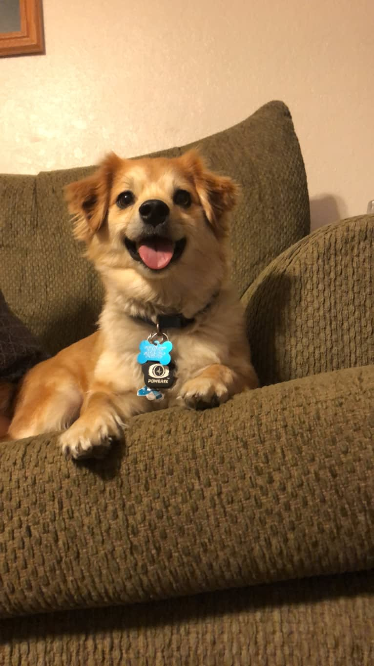 Photo of Koda, a Pomeranian, Dachshund, Yorkshire Terrier, Maltese, and Chihuahua mix in Rancho Cucamonga, California, USA