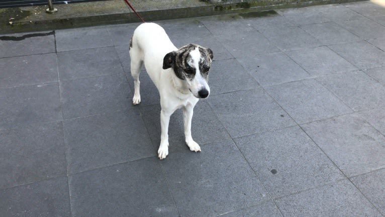 Photo of Daisy, an European Village Dog and American Pit Bull Terrier mix in Greece