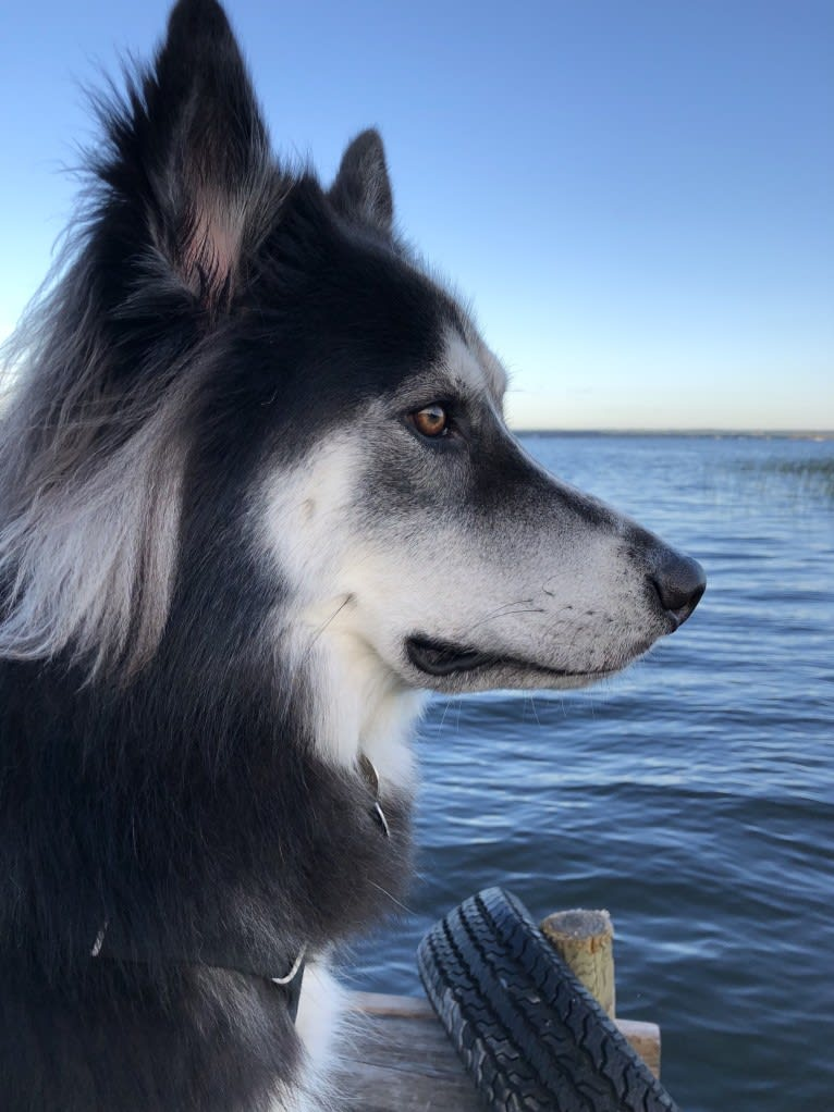 Photo of Koda, a Siberian Husky and Rottweiler mix in 3213 Durango Drive, Pearland, TX, USA