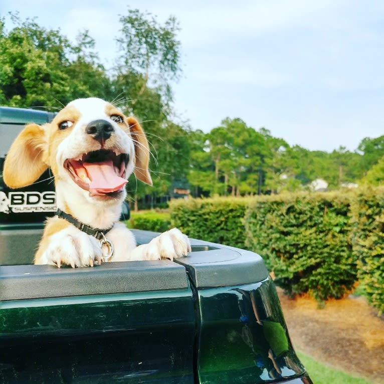 Photo of Langston Hughes, a Beagle, Australian Shepherd, Miniature/MAS-type Australian Shepherd, and Mixed mix in Newberry, South Carolina, USA