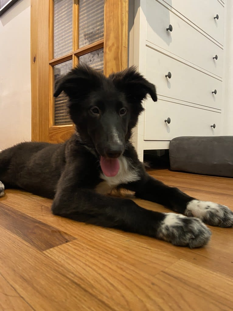 Photo of Rio, a Collie and German Shepherd Dog mix in Kentucky, USA