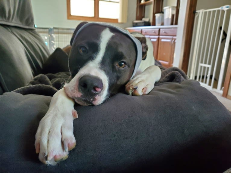 Photo of Leo, an American Pit Bull Terrier (5.6% unresolved) in Alabama, USA