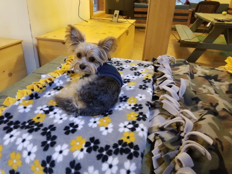 Photo of Milo, a Miniature Schnauzer, Biewer Terrier, Yorkshire Terrier, and Chihuahua mix in Burien, Washington, USA