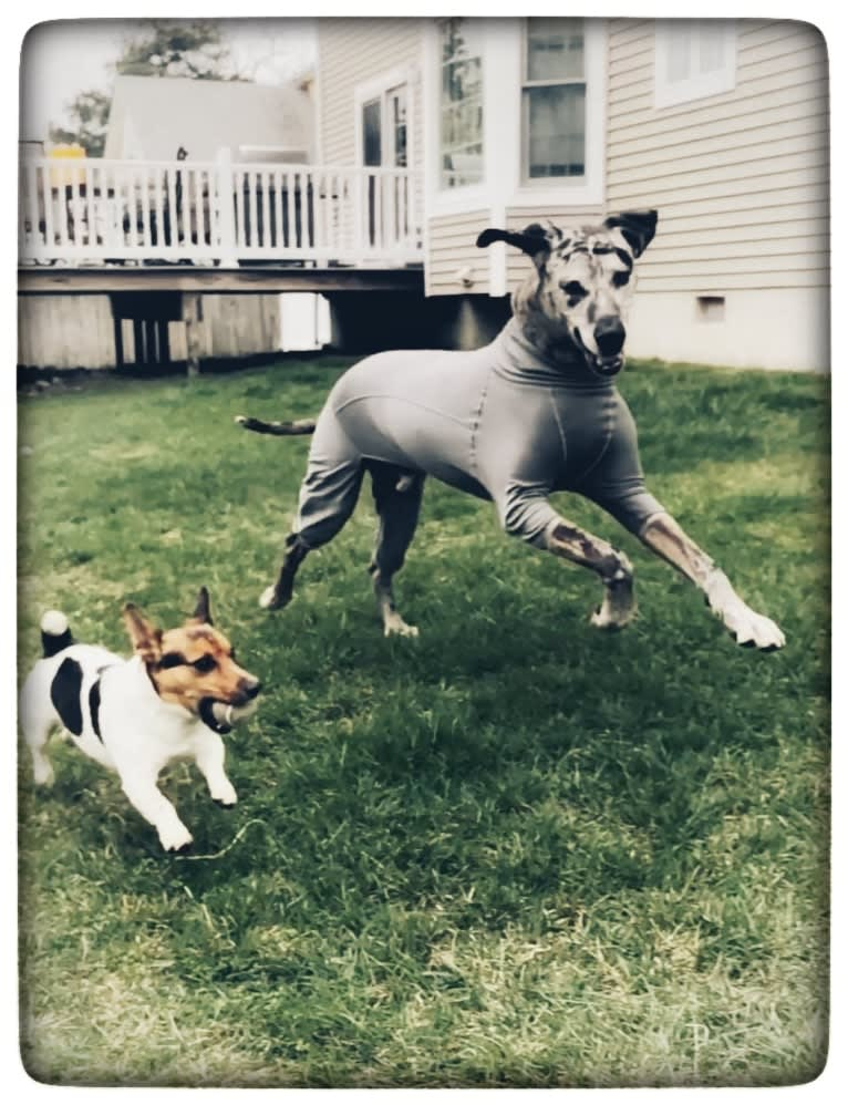 Photo of Nick, a Great Dane, Boxer, and German Shepherd Dog mix in Brick Township, New Jersey, USA