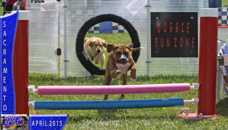 Photo of Remy Wayne, a Boxer, American Bulldog, and American Pit Bull Terrier mix in Vacaville, California, USA