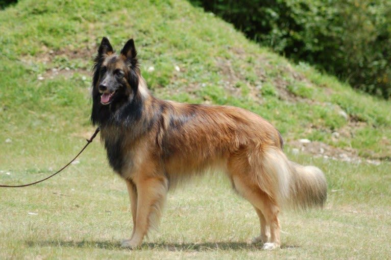 Photo of Cavu, a Belgian Shepherd
