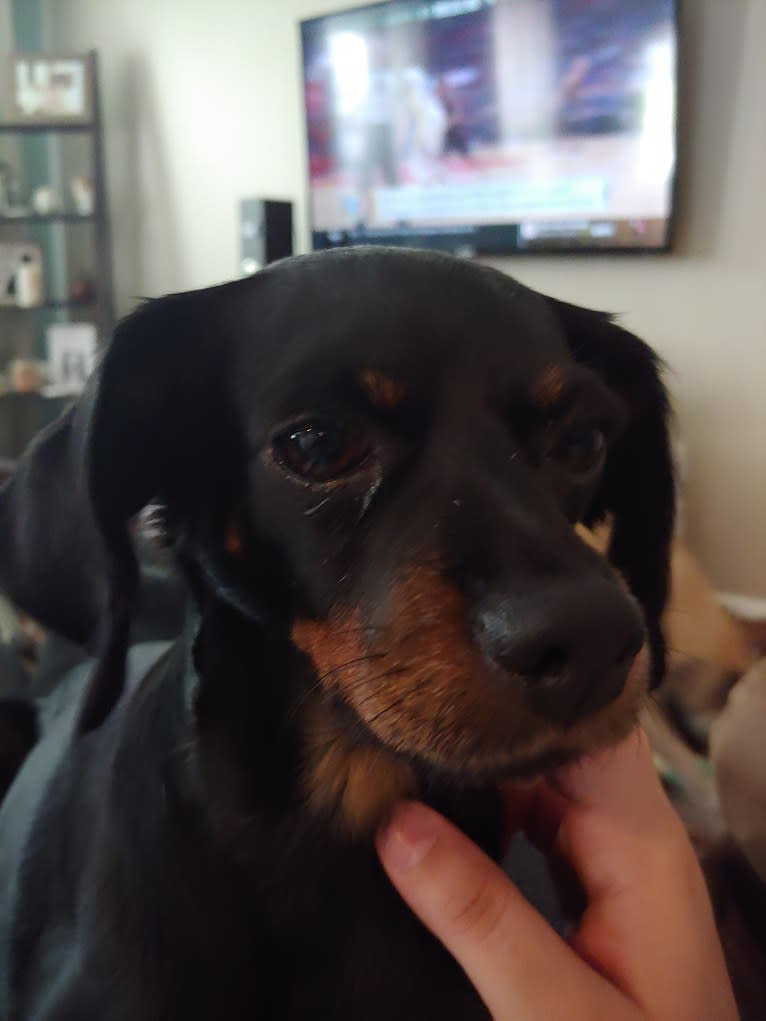Photo of Polly, a Miniature Pinscher and Cocker Spaniel mix in Kingston, Georgia, USA