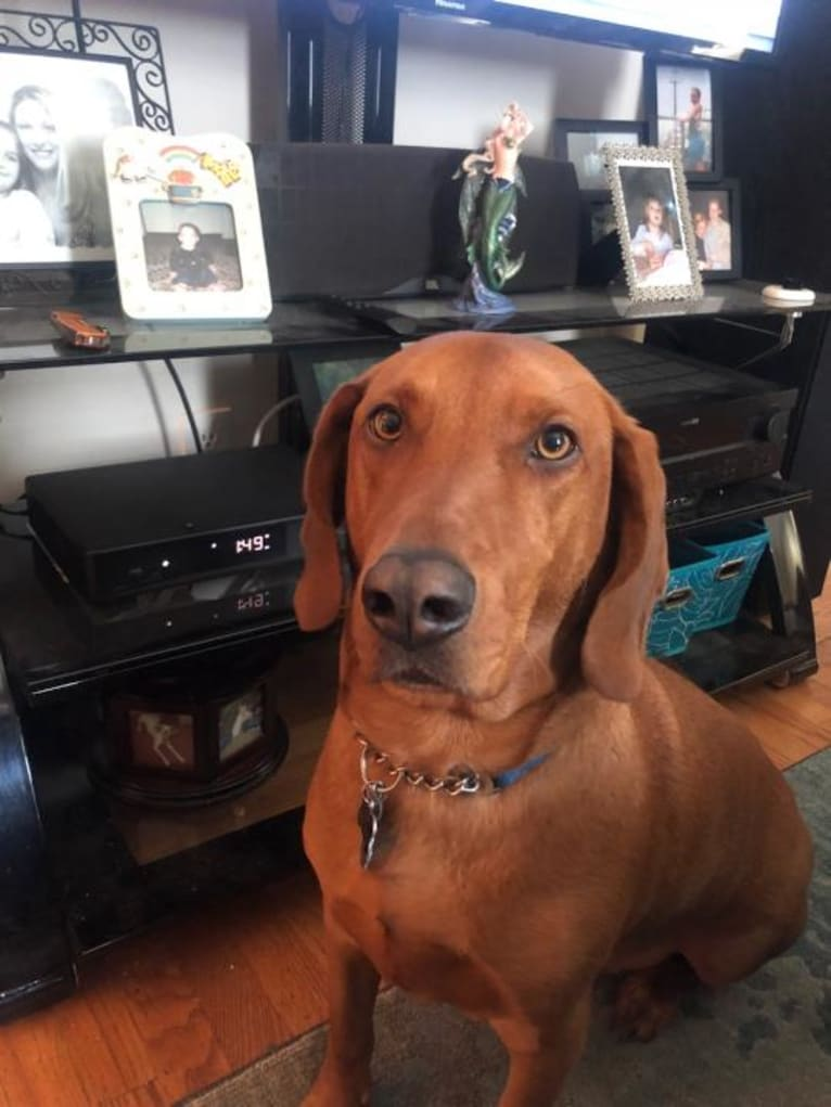 Photo of Opie, a Beagle, Redbone Coonhound, Bloodhound, and Golden Retriever mix