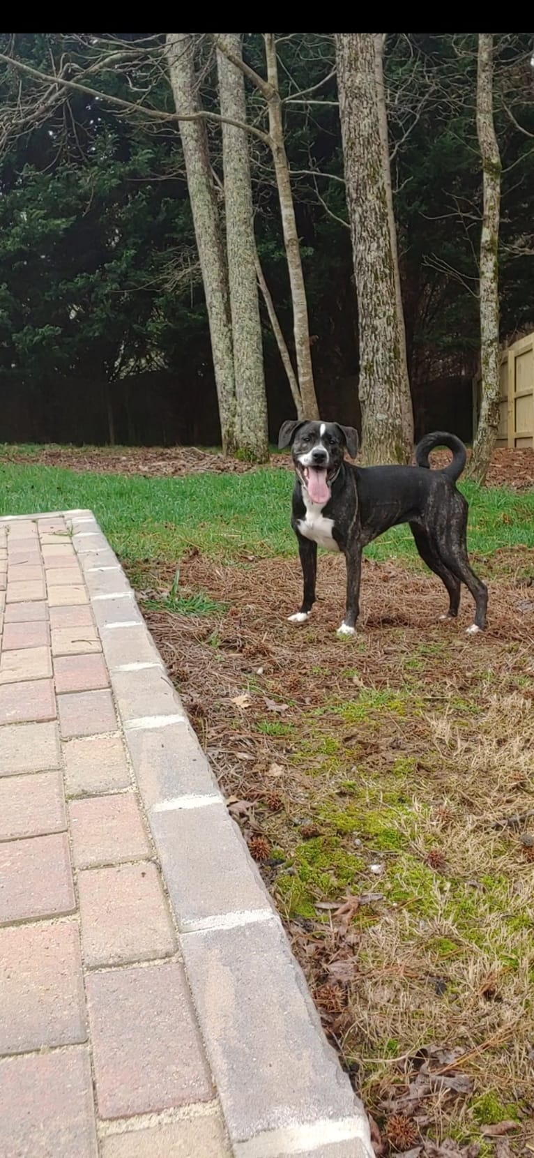 Photo of Vivie, an American Pit Bull Terrier, Labrador Retriever, and Chow Chow mix in Cumming, GA, USA