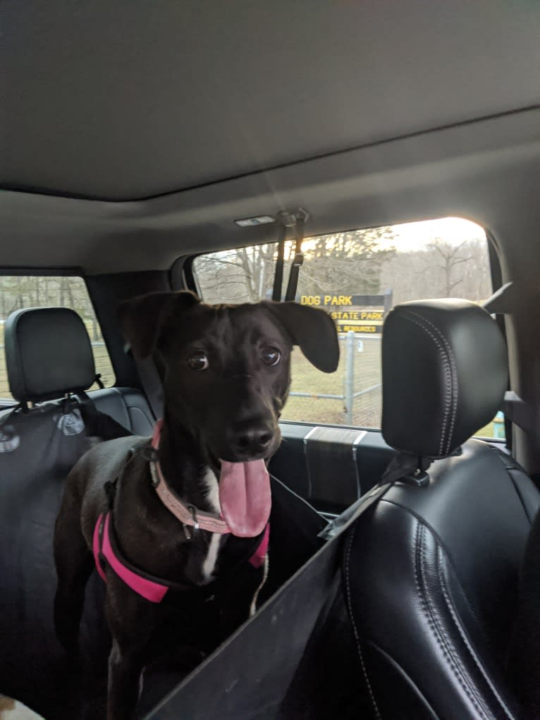 Photo of Zoey, a Mountain Cur, Labrador Retriever, American Pit Bull Terrier, and Chow Chow mix in Indianapolis, Indiana, USA