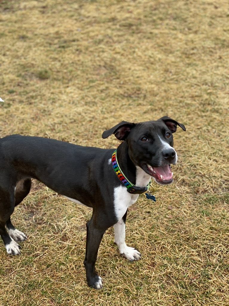 Photo of Ada, an American Pit Bull Terrier and Labrador Retriever mix in Alabama, USA