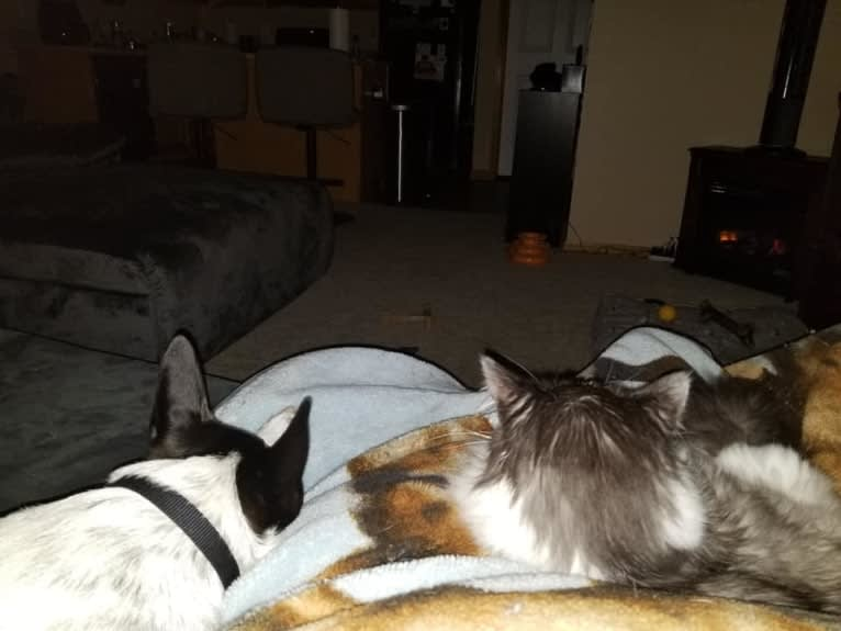 Photo of Sigmund, a Rat Terrier, Australian Cattle Dog, and Border Collie mix in Missouri, USA