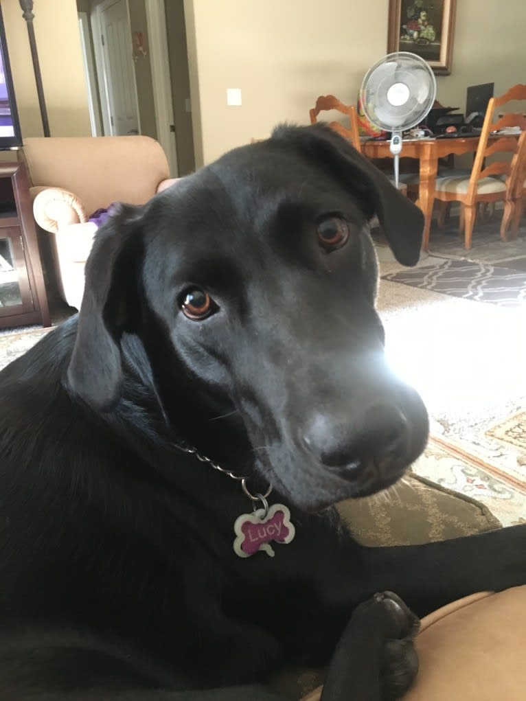 Photo of Lucy, a Labrador Retriever  in Santa Rosa, California, USA