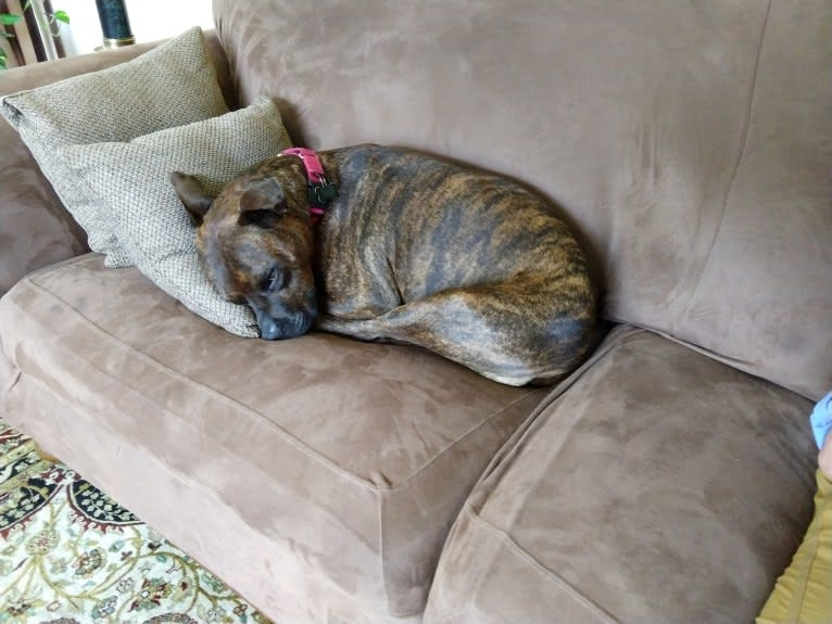 Photo of Ryan, a Staffordshire Terrier  in East Aurora, New York, USA