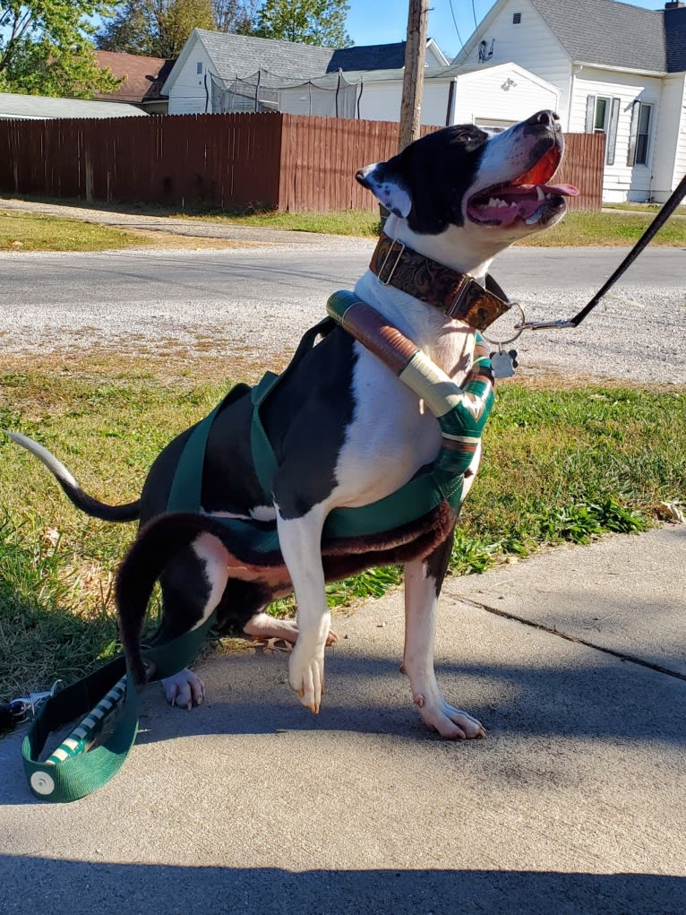 """Photo of GANT'S OG RUDEBOY """"ROCKY"""", an American Pit Bull Terrier and American Staffordshire Terrier mix in Illinois, USA"""