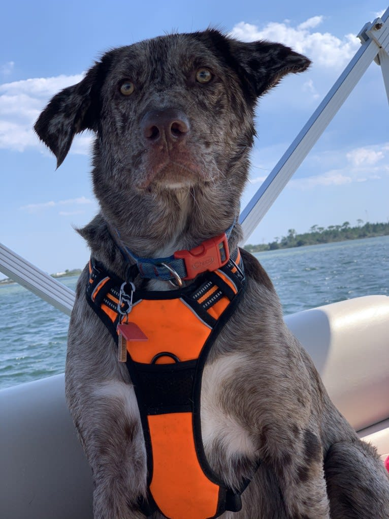 Photo of Dexter, a Labrador Retriever, Australian Shepherd, and German Shorthaired Pointer mix in Millville, MN, USA