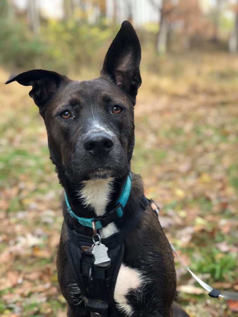 Photo of Cora, a German Shepherd Dog, American Pit Bull Terrier, and American Staffordshire Terrier mix in Washington, District of Columbia, USA