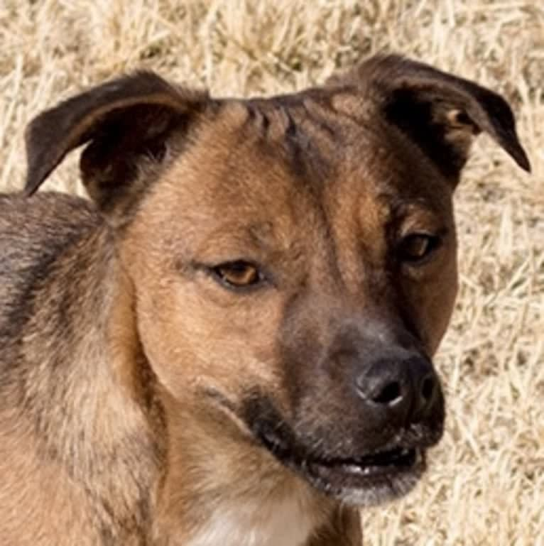 Photo of Cutie, a Border Collie, Border Terrier, and Whippet mix in Pahrump, NV, USA