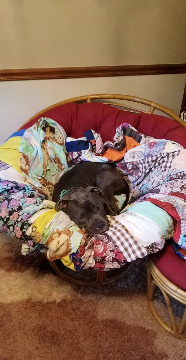 Photo of Rocco, an American Staffordshire Terrier  in Harrison City, Pennsylvania, USA