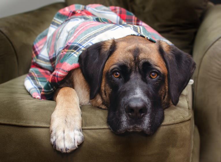 Photo of Friend, a Saint Bernard, German Shepherd Dog, and Mixed mix in Hudson, WI, USA