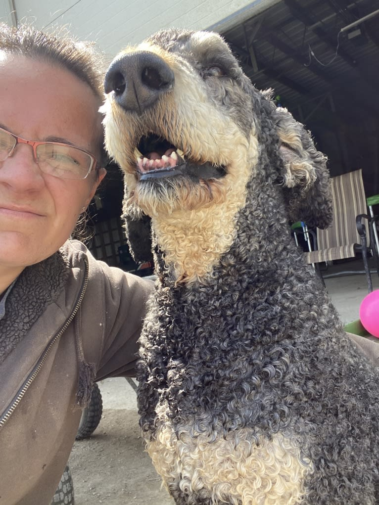 Photo of Hank, a Poodle (Standard)