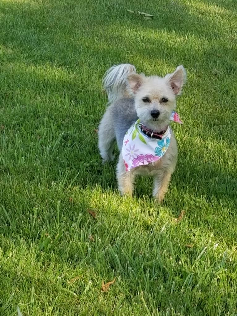 Photo of Molly, a Maltese, Pembroke Welsh Corgi, and Yorkshire Terrier mix in Huntington, West Virginia, USA
