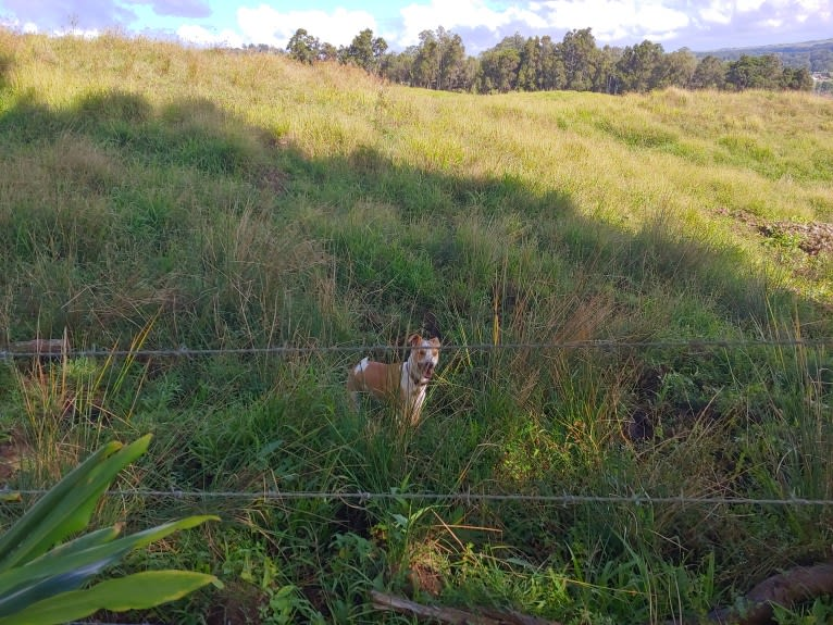 Photo of Tuli, an American Pit Bull Terrier, American Staffordshire Terrier, and Mixed mix in Waimea, Hawaii, USA