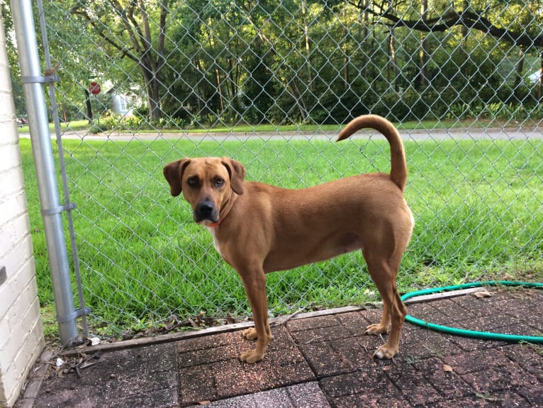 Photo of Lucy, an American Pit Bull Terrier, Mountain Cur, Bloodhound, and Mastiff mix in Mississippi, USA