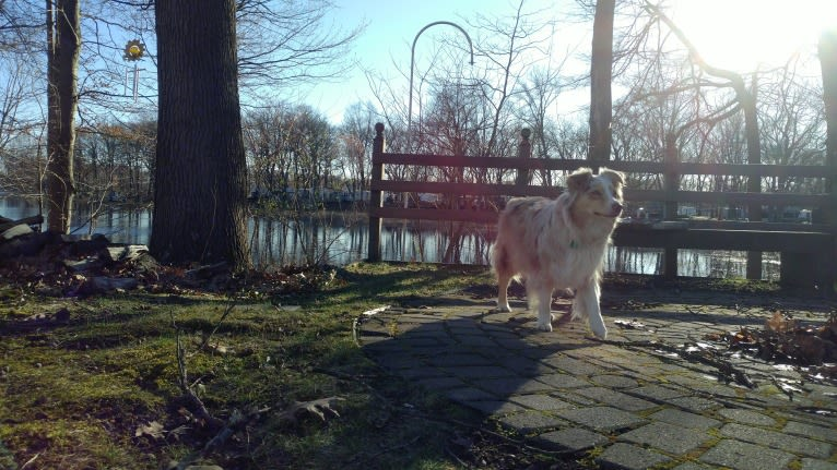 Photo of Brizzie, an Australian Shepherd Group  in Paw Paw, Michigan, USA