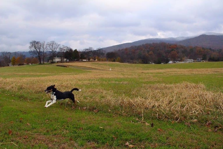 Photo of Gypsy, a Siberian Husky, American Pit Bull Terrier, and Mixed mix in White Pine, Tennessee, USA