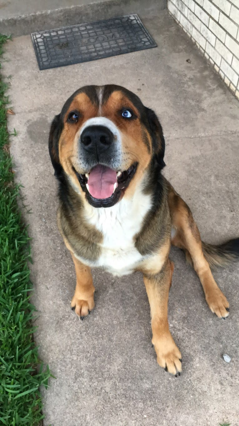 Photo of Bo, a Rottweiler, Great Pyrenees, and Siberian Husky mix in Thackerville, Oklahoma, USA