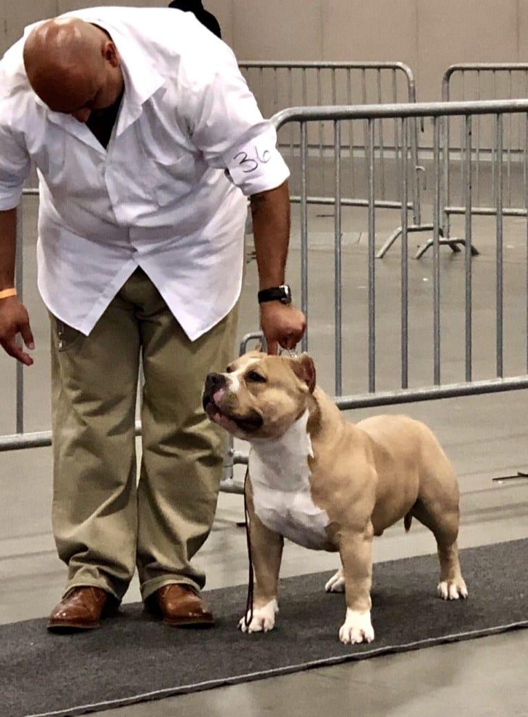 Photo of 👌🏼MAKOY, an American Bully  in Washington, USA