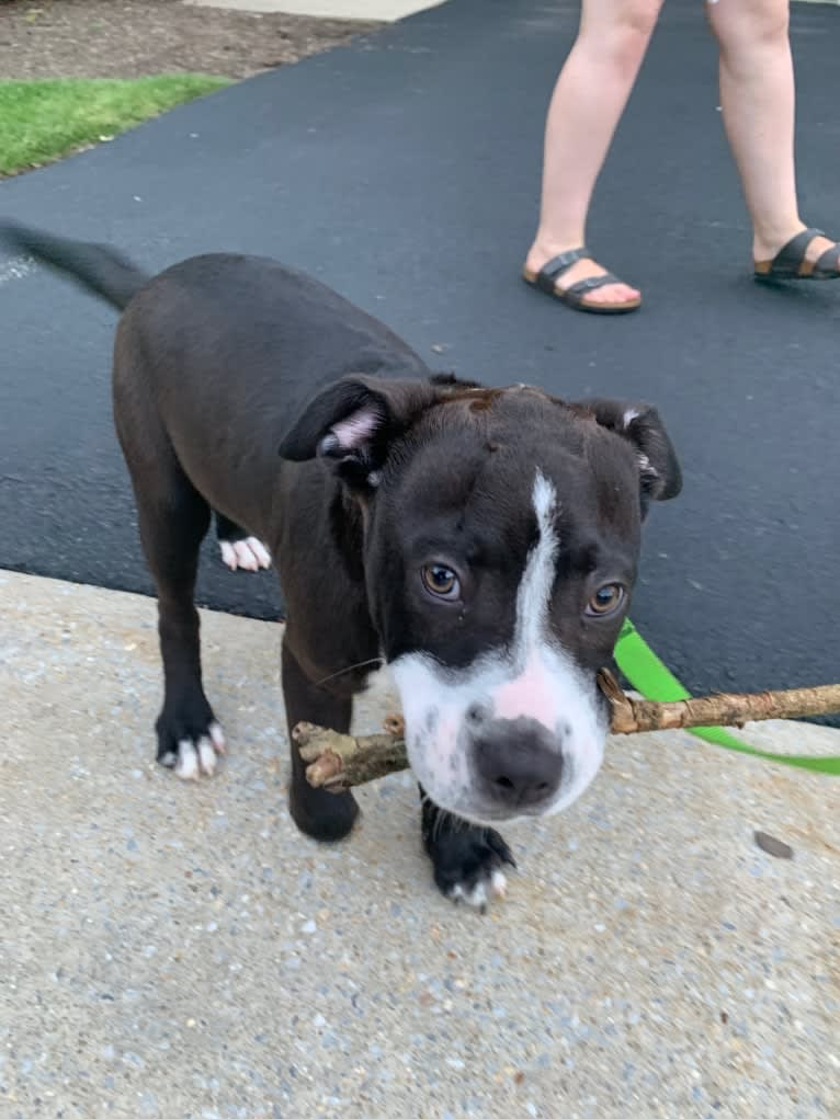 Photo of Marvin, an American Pit Bull Terrier, Cocker Spaniel, Rottweiler, American Staffordshire Terrier, and Perro de Presa Canario mix in West Chester, Pennsylvania, USA