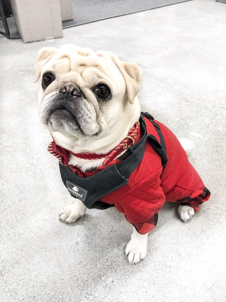 Photo of Po, a Pug  in Tulare, CA, USA