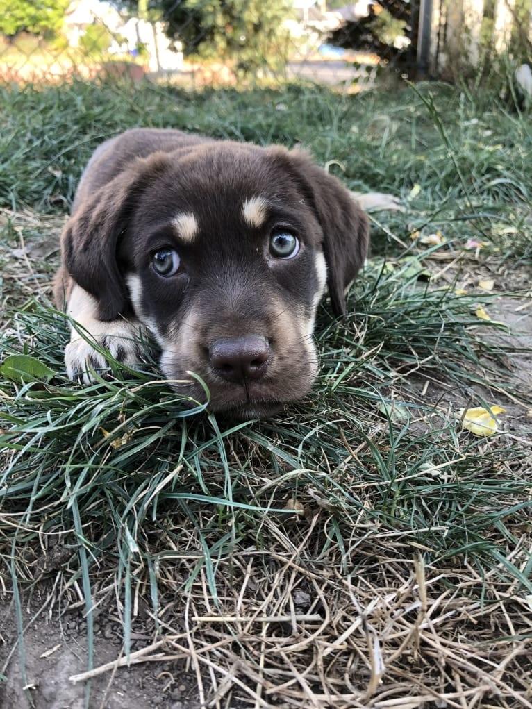 Photo of Poppy Poopalicious, a German Shepherd Dog, Labrador Retriever, Golden Retriever, and Mixed mix in Washington, USA