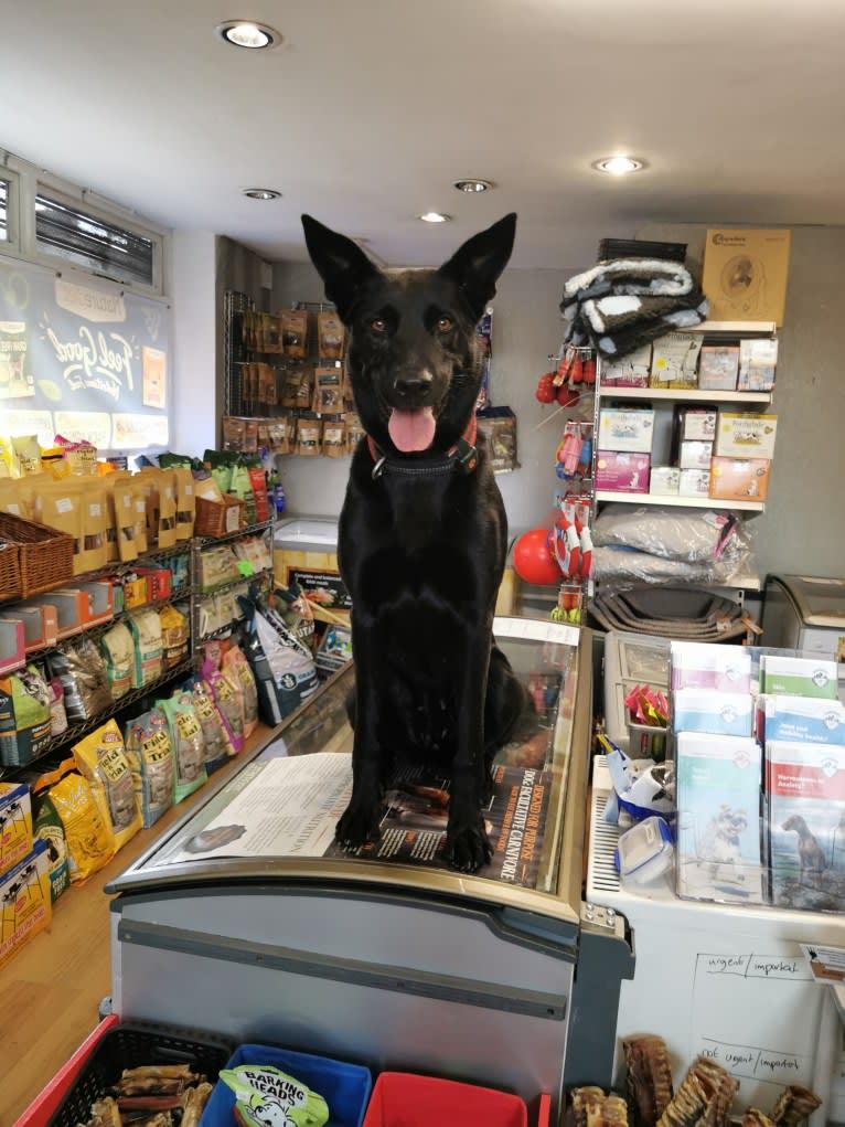 Photo of Mystic Black Fury aka Raven, a Dutch Shepherd, Belgian Malinois, and German Shepherd Dog mix in Salford, UK