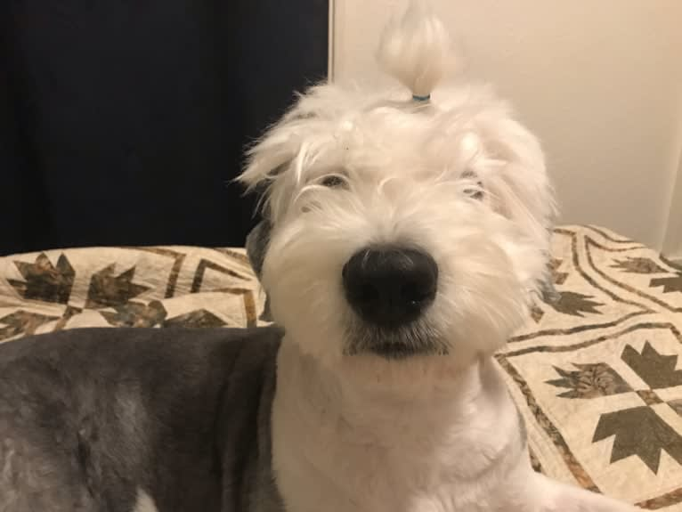 Photo of Winston, an Old English Sheepdog  in Puyallup, WA, USA