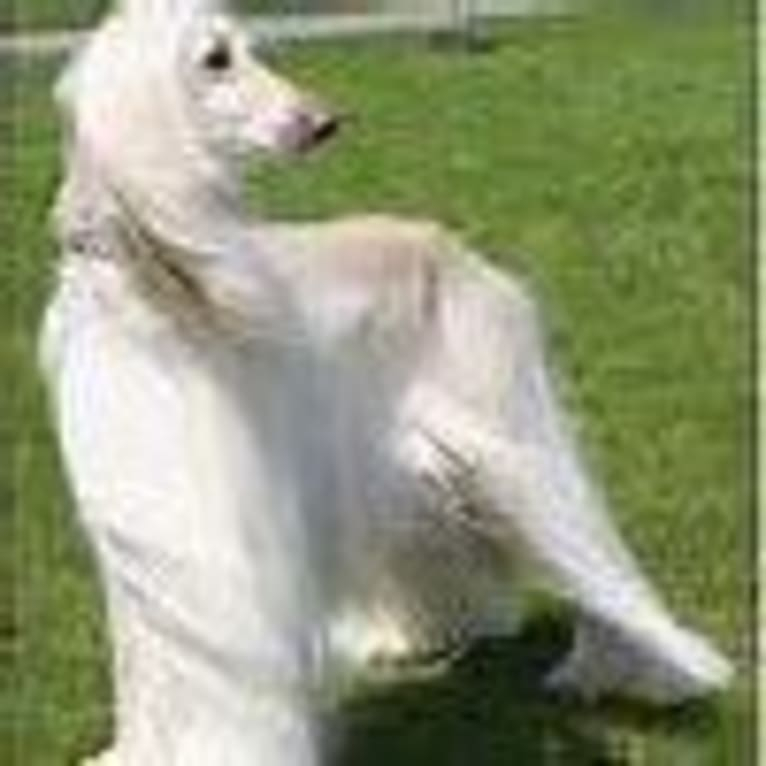 Photo of Levi, an Afghan Hound