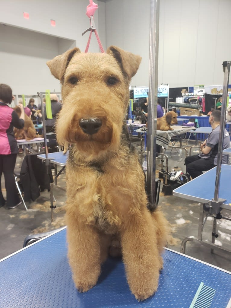 Photo of Sunny, a Welsh Terrier  in Ohio, USA