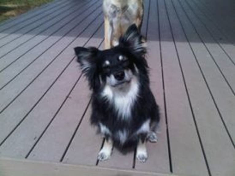 Photo of Pucci, an American Eskimo Dog, Chihuahua, and Pomeranian mix