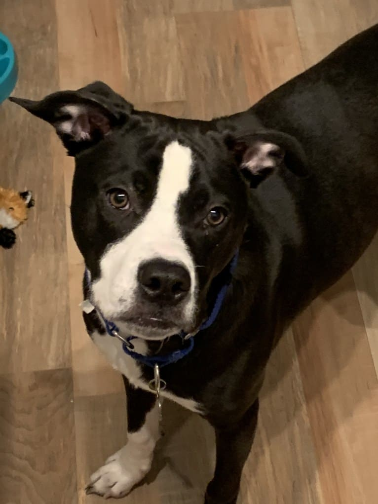 Photo of Archie, an American Pit Bull Terrier (12.0% unresolved) in Alabama, USA
