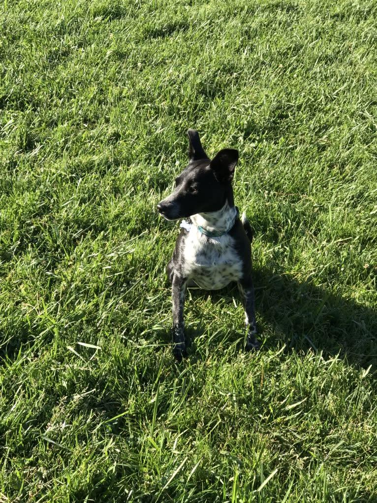 Photo of Ninja, an Australian Cattle Dog, Chihuahua, Miniature Pinscher, and Mixed mix in Fresno, California, USA